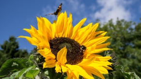 Sunflowers attract insects